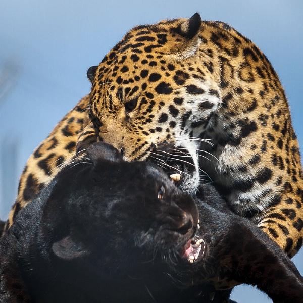Jaguar Discussion by AllanP