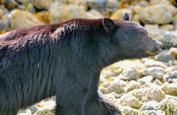 Black Bear by Andysnapper