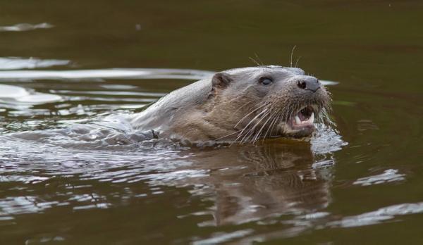 Otter, River Don by Mstphoto