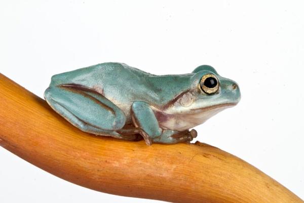 White tree frog by Geofferz