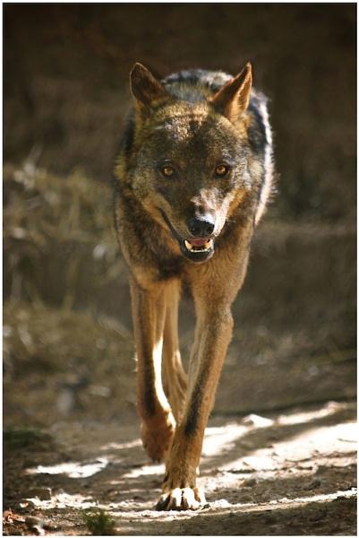 Iberian Wolf by wildatheart