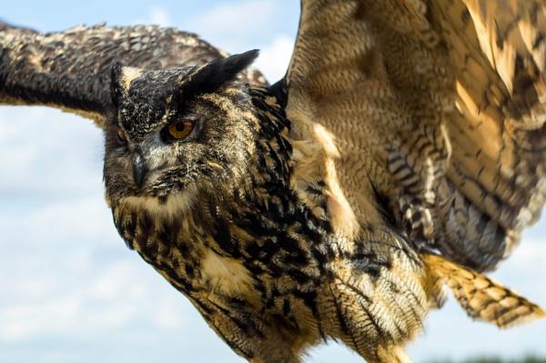 Owl in flight by Gordonsimpson