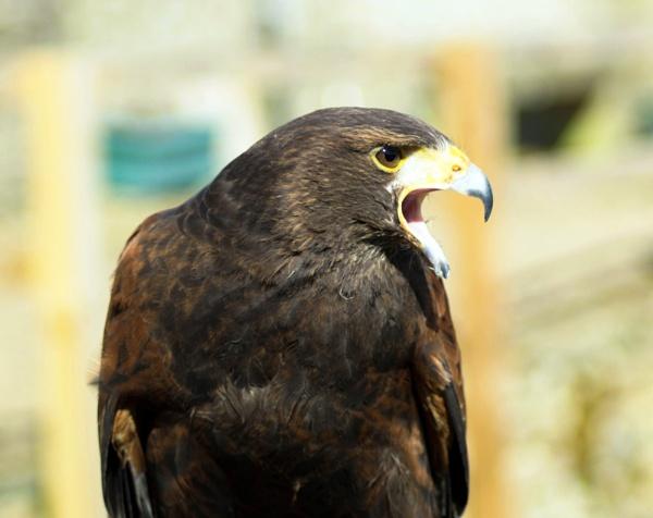 Harrier Hawk by Gordonsimpson