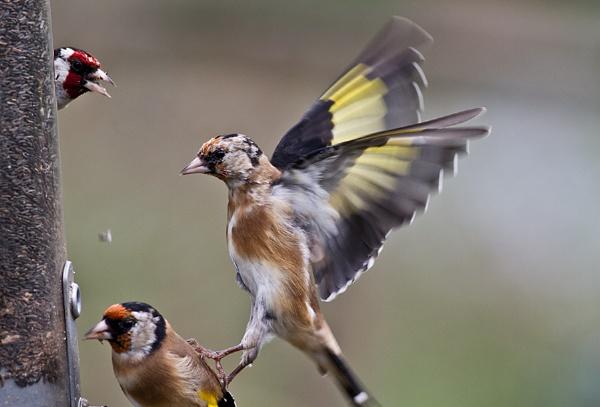 Goldfinch frenzy by cleg