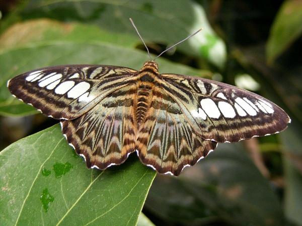 butterfly by ireland