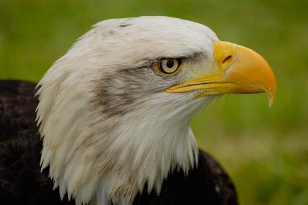 Eagle Profile by Flash_Wiz