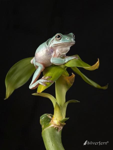 Green Tree Frog by Silverfern