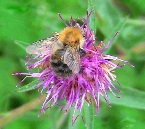 Ginger Bee. by ddolfelin