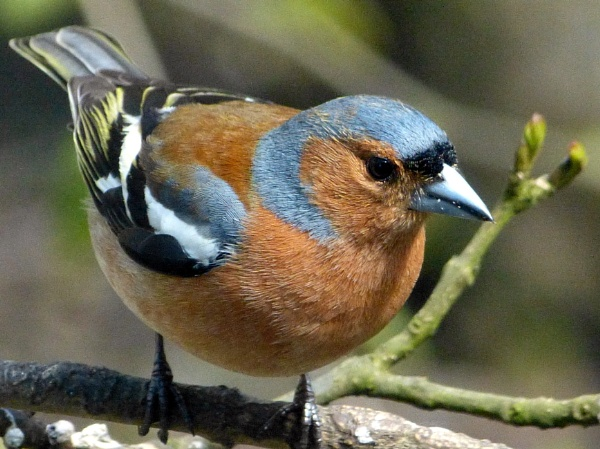 Chaffinch No.1 by sanchopanther