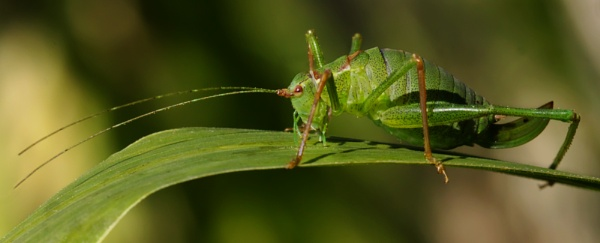 Green Grasshopper by siduck68