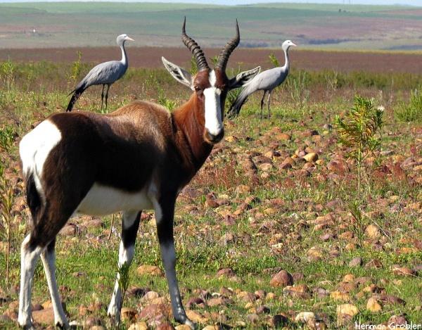 Bontebok & Blue Cranes by Hermanus