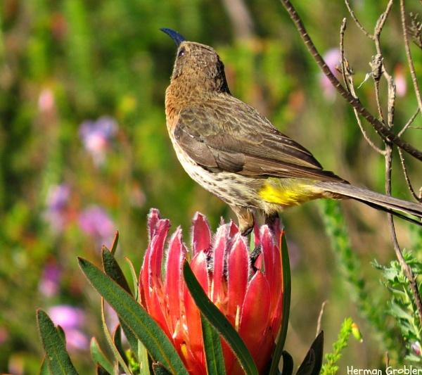 Female Sunbird by Hermanus