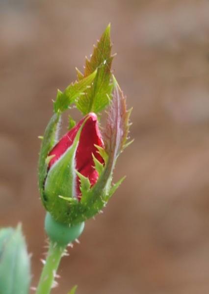 Rosebud by kl0verleaf