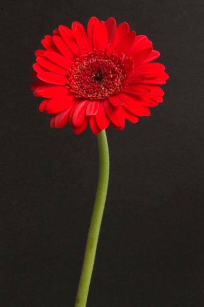 Flower by HuddersfieldHil
