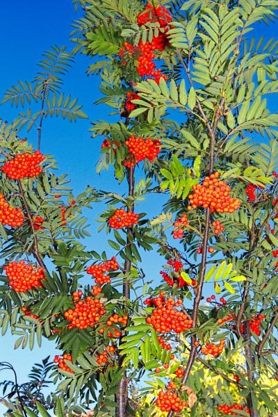 Rowan Tree by LinBrennan