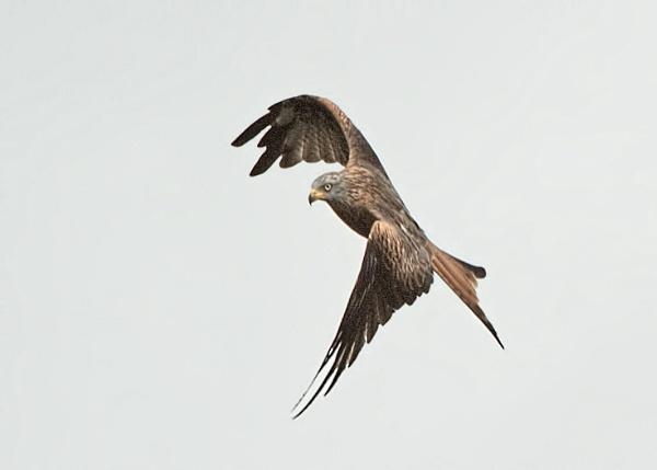 Red Kite by trevaze