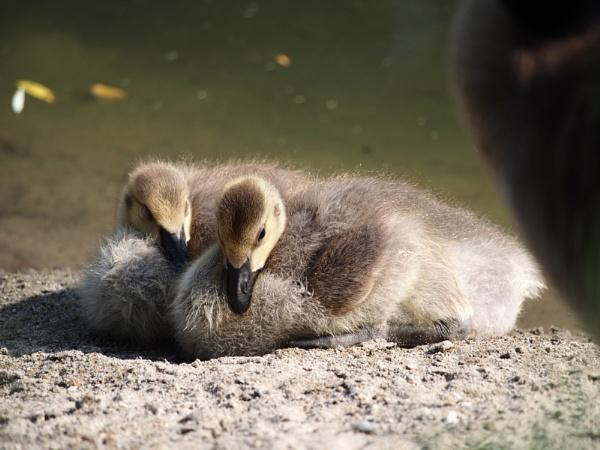 Canada Goose Gosling by Xmplary