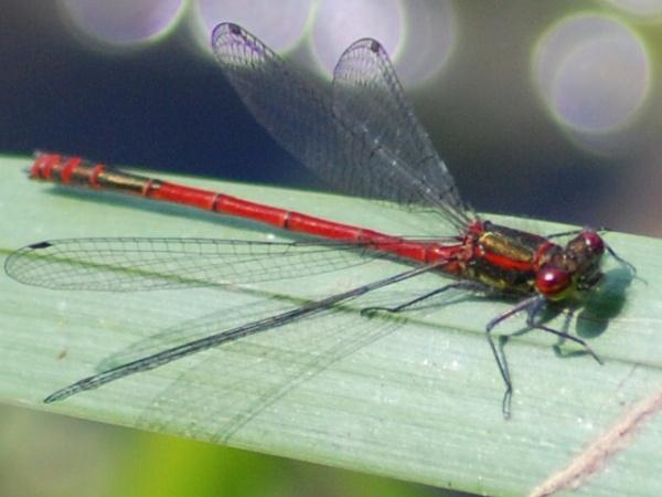 large red damselfly ( coenagridae pyrrhosoma nymphula) by bilgerat