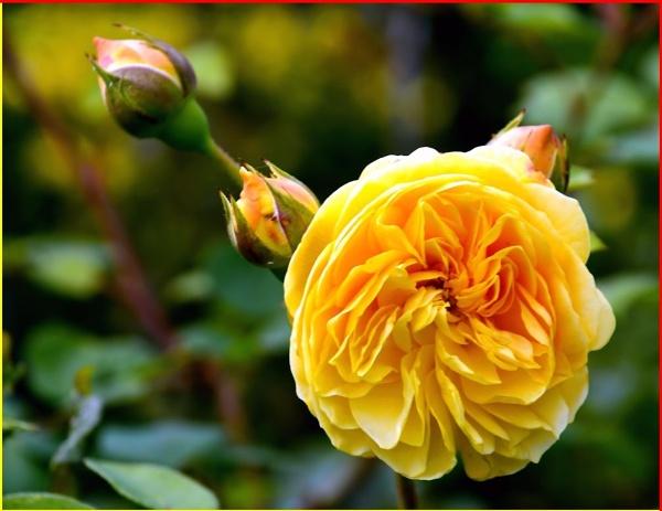 * * September Rose * * by Rock