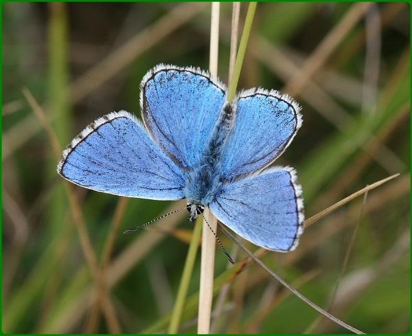 Basking Adonis Blue by Glostopcat