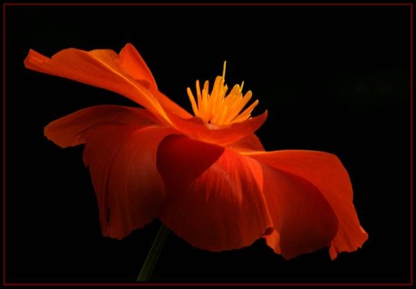 Poppy by viscostatic