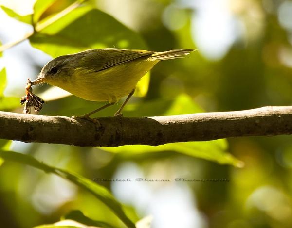 Grey hooded warbler. by Dead_habits