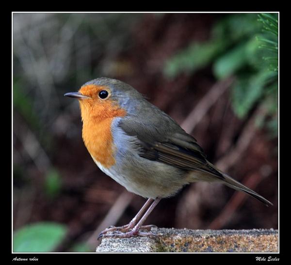 Autumn robin by oldgreyheron