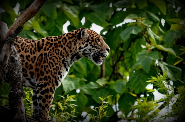 jaguar by sully