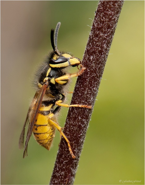 Wasp by FeatherFriend