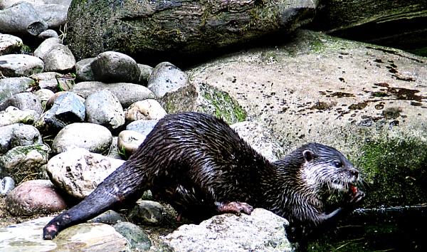 otter feeding7 by leakiss