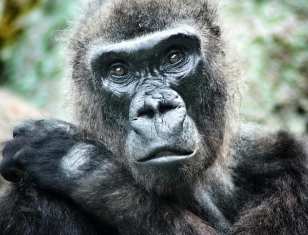 Gorilla by kdeans
