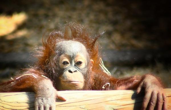 Baby Orangutan by kdeans
