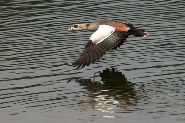 egyptan goose by philbland