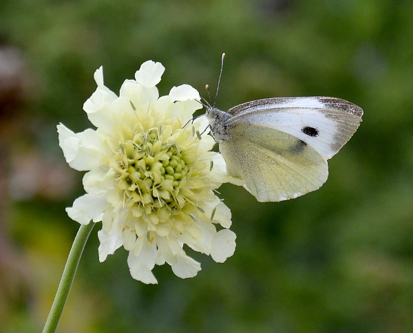 cabbage white by probie