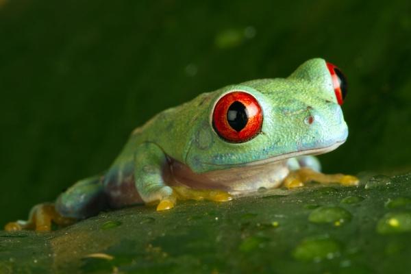 Red eye tree frog by Geofferz