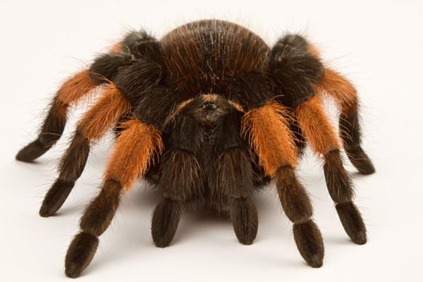 Red knee tarantula by Geofferz