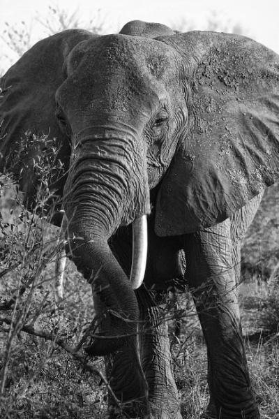 bull elephant by bollie_b
