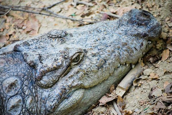 Indian Mugger Crocodile (Female) by rahulzerg
