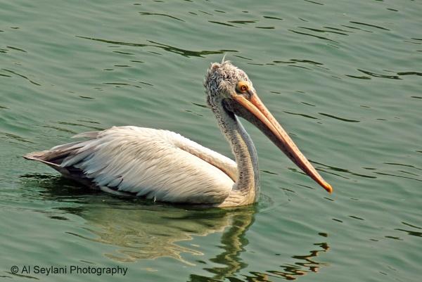 Pelican by jmu