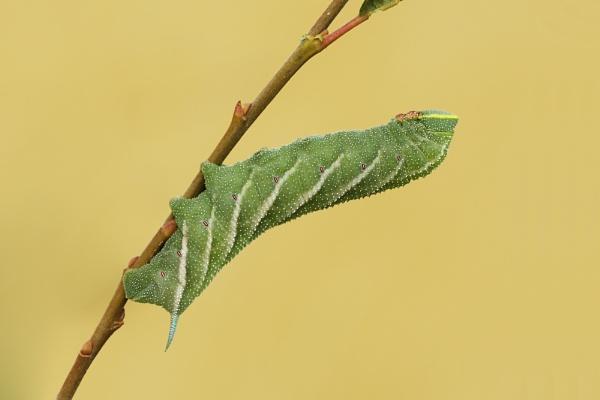 Eyed Hawk-moth Larvae by Andy_brown