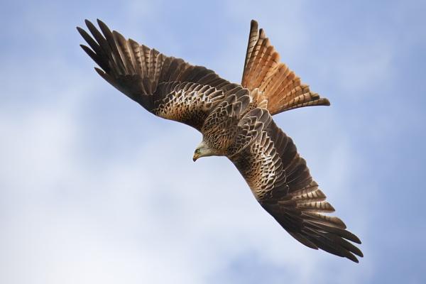 Barcud Coch / Red Kite - Powys by Tynnwrlluniau