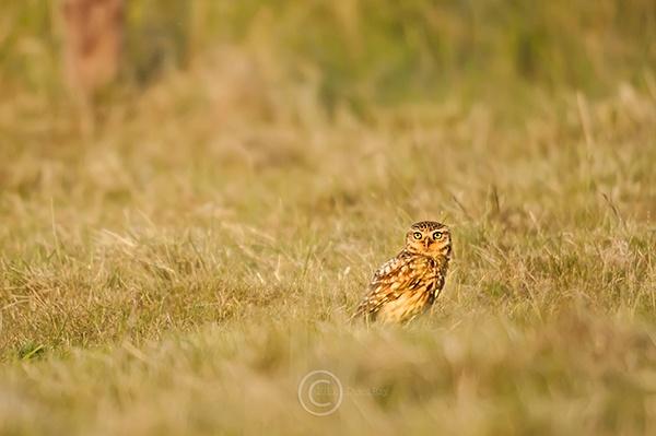 Little Owl In Field by DARPhotography