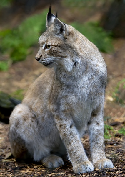 Northern Lynx by scottchappell