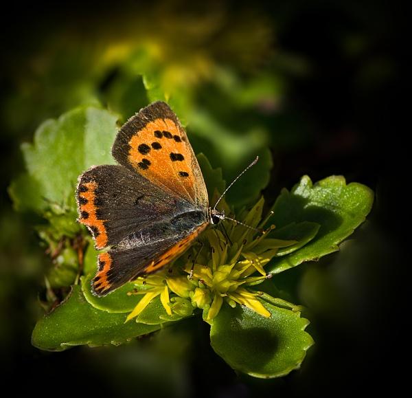 Small Copper by CaroleS