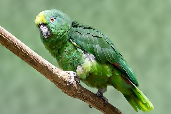 Yellow-crowned Parrot (Amazona ochrocephala) by luizdasilva