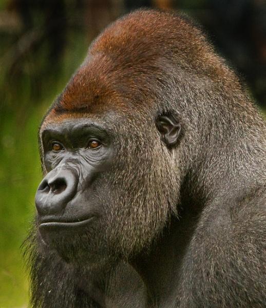 Gorilla Portrait by pf