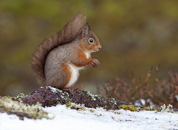 Red Squirrel in the snow by hibbz