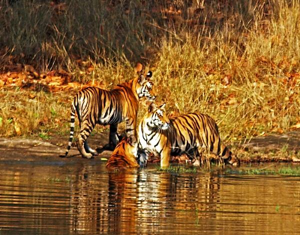 Tigers at Bandhavgarh, India by JuBarney