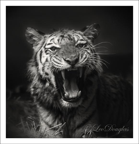 Tigress by GeordieDoug