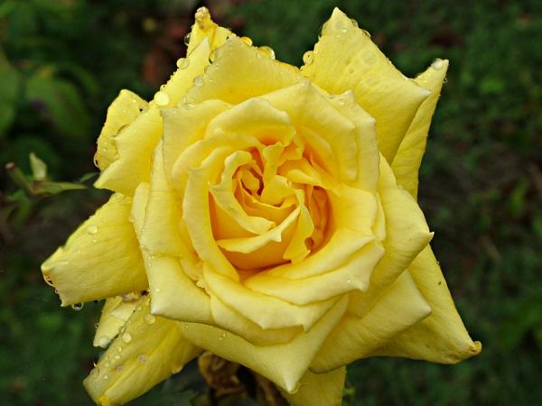 Raindrop rose 3 by MidnightMaya